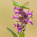 Image of Small gold grasshopper
