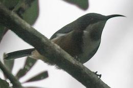 Image of Eastern Spinebill