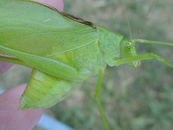 Image of Oblong-winged Katydid