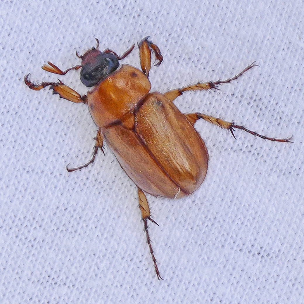 Image of <i>Cyclocephala lurida</i> Bland 1863