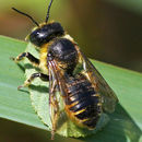 Image of Unarmed Leaf-cutter Bee