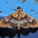 Image of <i>Aetholix flavibasalis</i> Guenée 1854