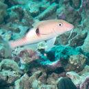 Image of Sidespot goatfish