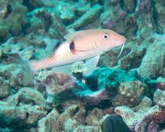 Image of Blackspot goatfish