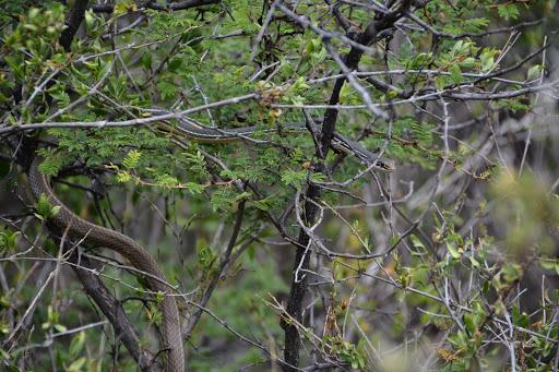 Image of Sonoran Whipsnake