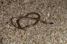 Image of Western Blackhead Snake