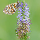 Image of Twin-spot Fritillary