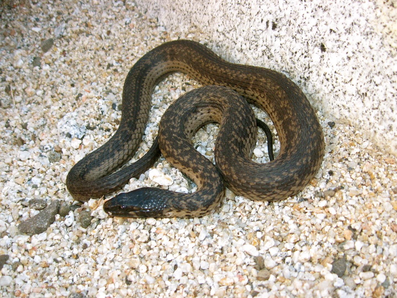 Image of West Coast Garter Snake