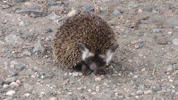 Image of Desert hedgehog