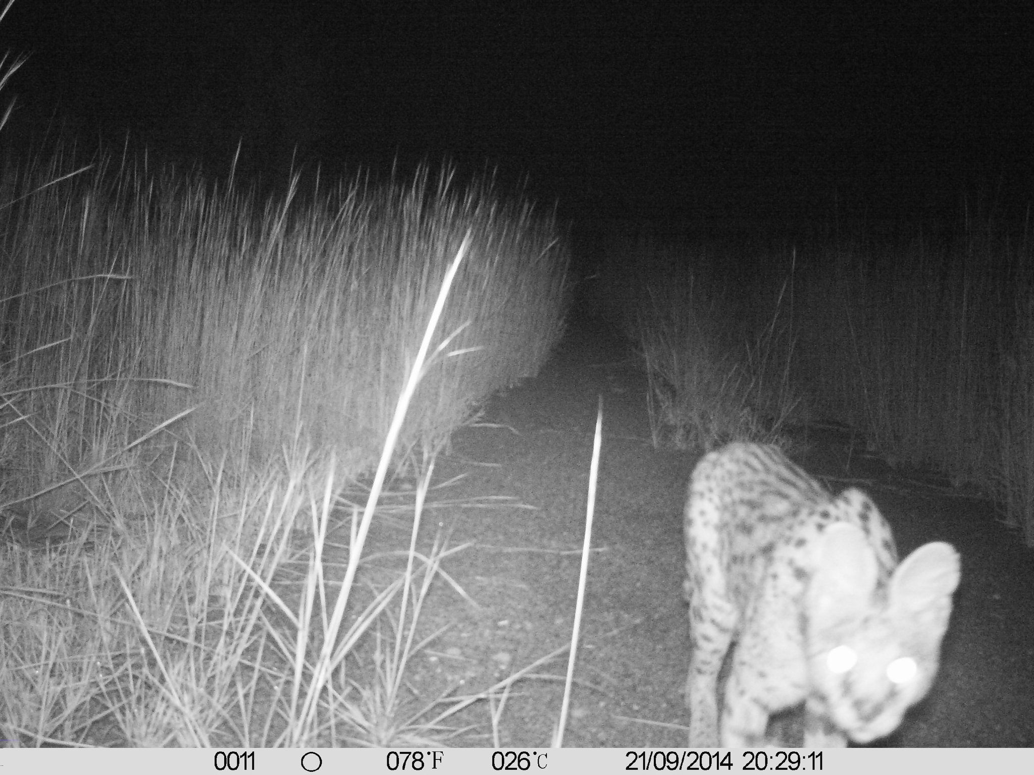 Image of Serval