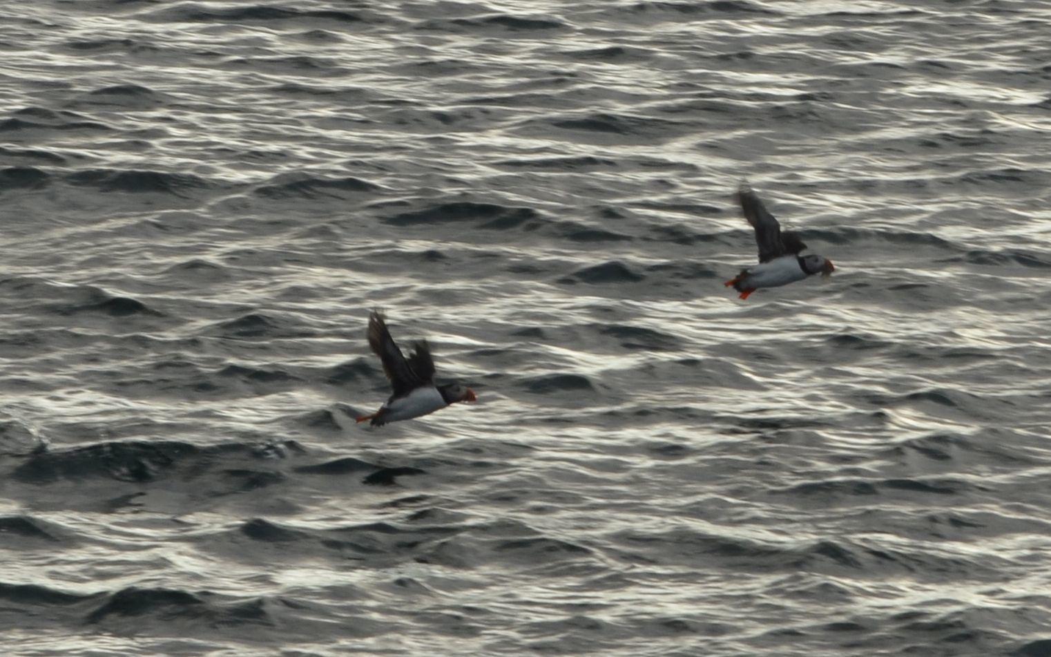 Image of Atlantic Puffin