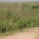 Image of Attwater's Prairie-chicken