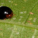 Image of Lady beetle
