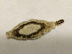 Image of <i>Phereoeca uterella</i> (Walsingham 1897)