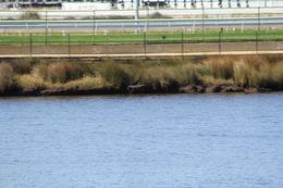 Image of Australasian Darter