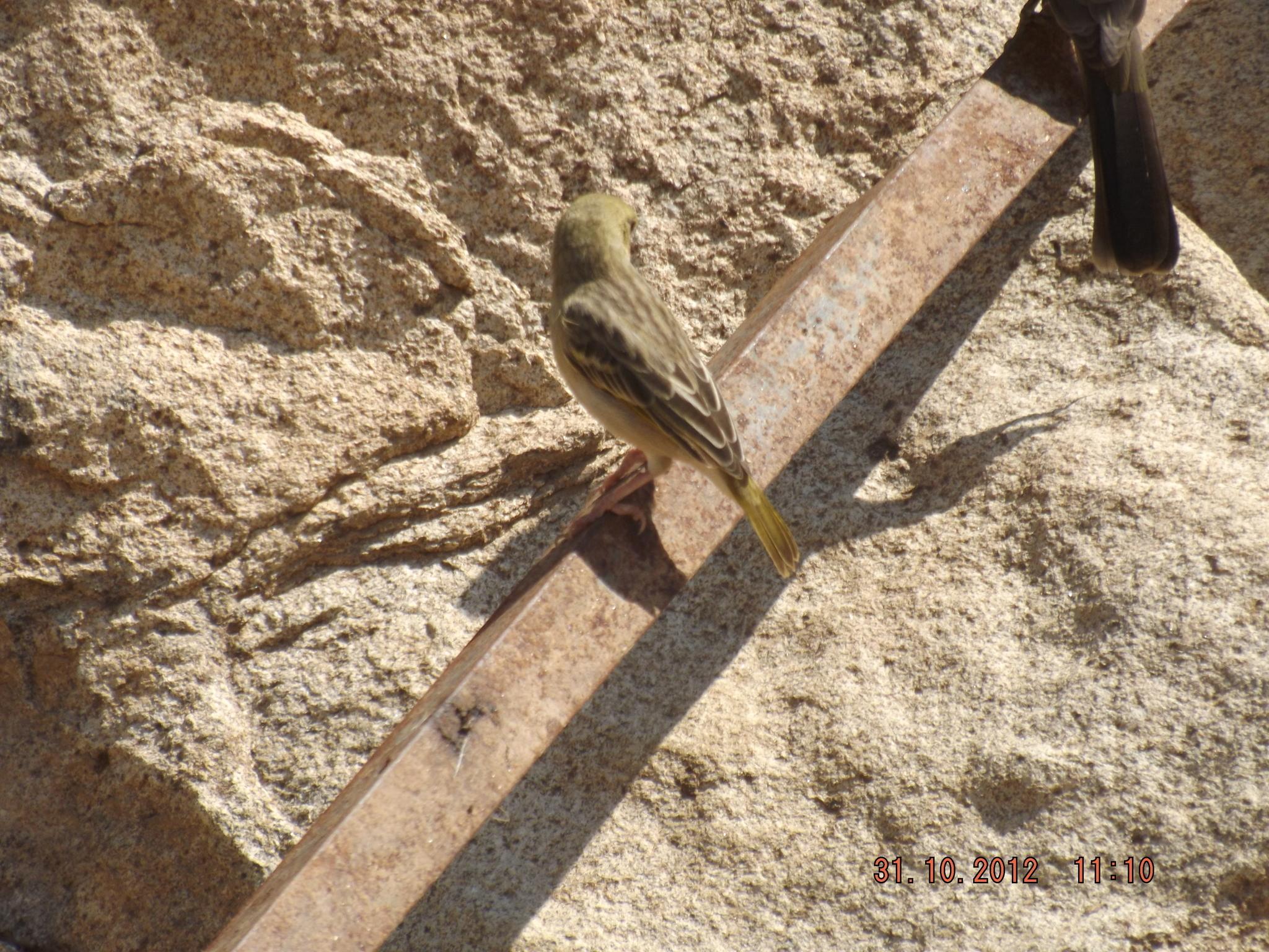 Image of Rueppell's Weaver