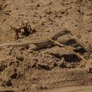 Image of Bosk's fringe-toed lizard