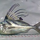Image of Roosterfish