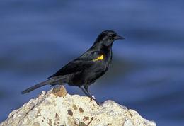 Image of Yellow-shouldered blackbird