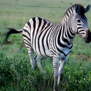 Image of Burchell's zebra