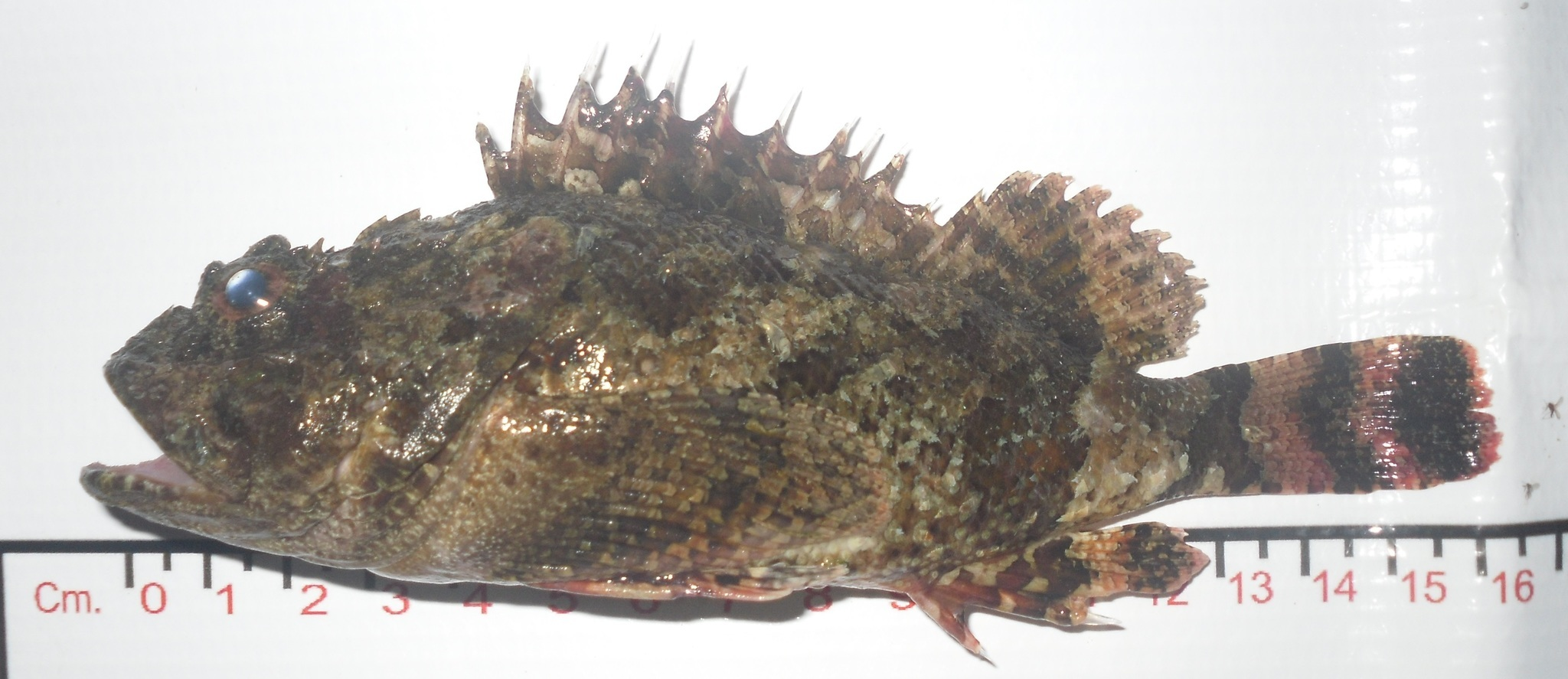 Image of rainbow scorpionfish