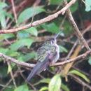 Image of Long-tailed Sabrewing