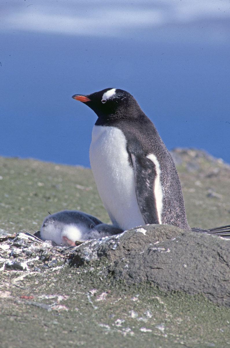 Image of Gentoo Penguin