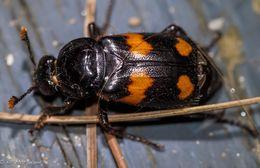 Image of Roundneck Sexton Beetle