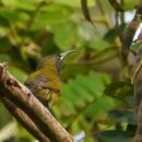 Image of Reichenbach's Sunbird