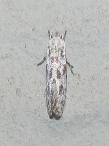 Image of <i>Diachorisia velatella</i> Clemens 1860