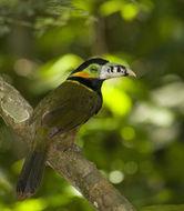 Image of Spot-billed Toucanet