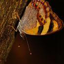 Image of <i>Bolboneura sylphis beatrix</i>