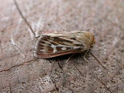 Image of Antler Moth