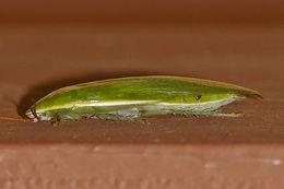 Image of Green Banana Cockroach