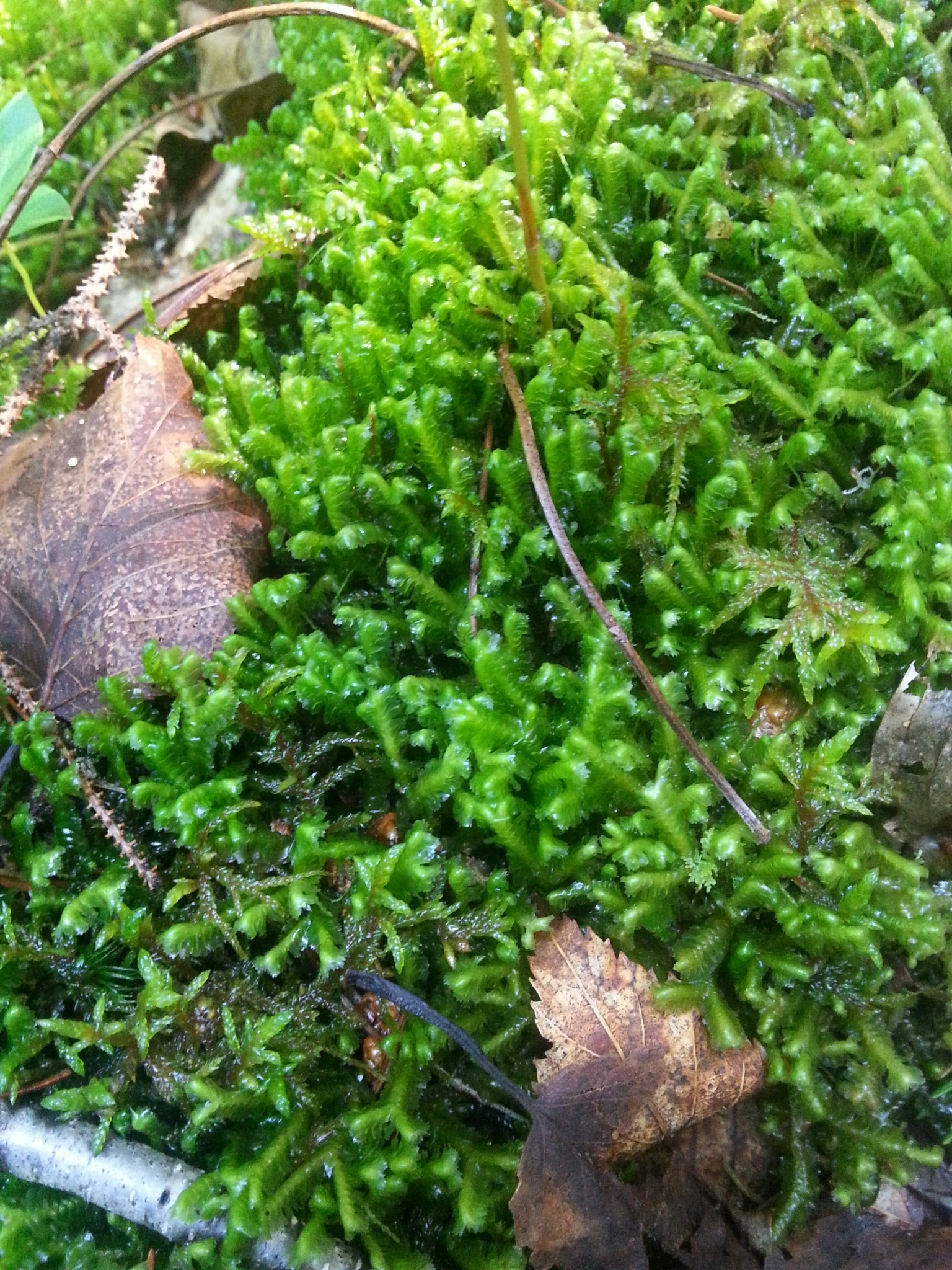 Image of <i>Bazzania trilobata</i>