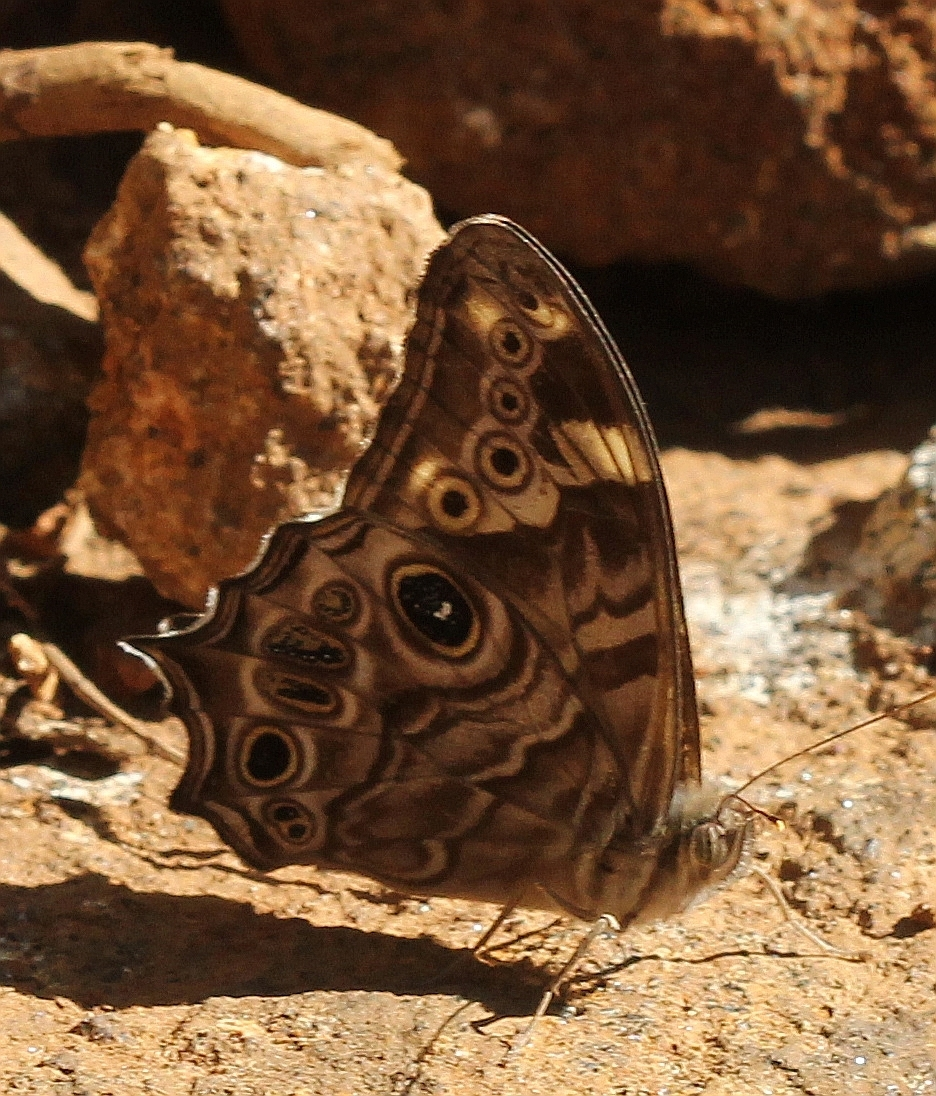 Image of Common Tree Brown