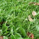Image of <i>Cyperus kyllingia</i>