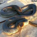 Image of Caspian whipsnake