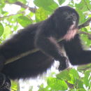 Image of mexican black howler monkey