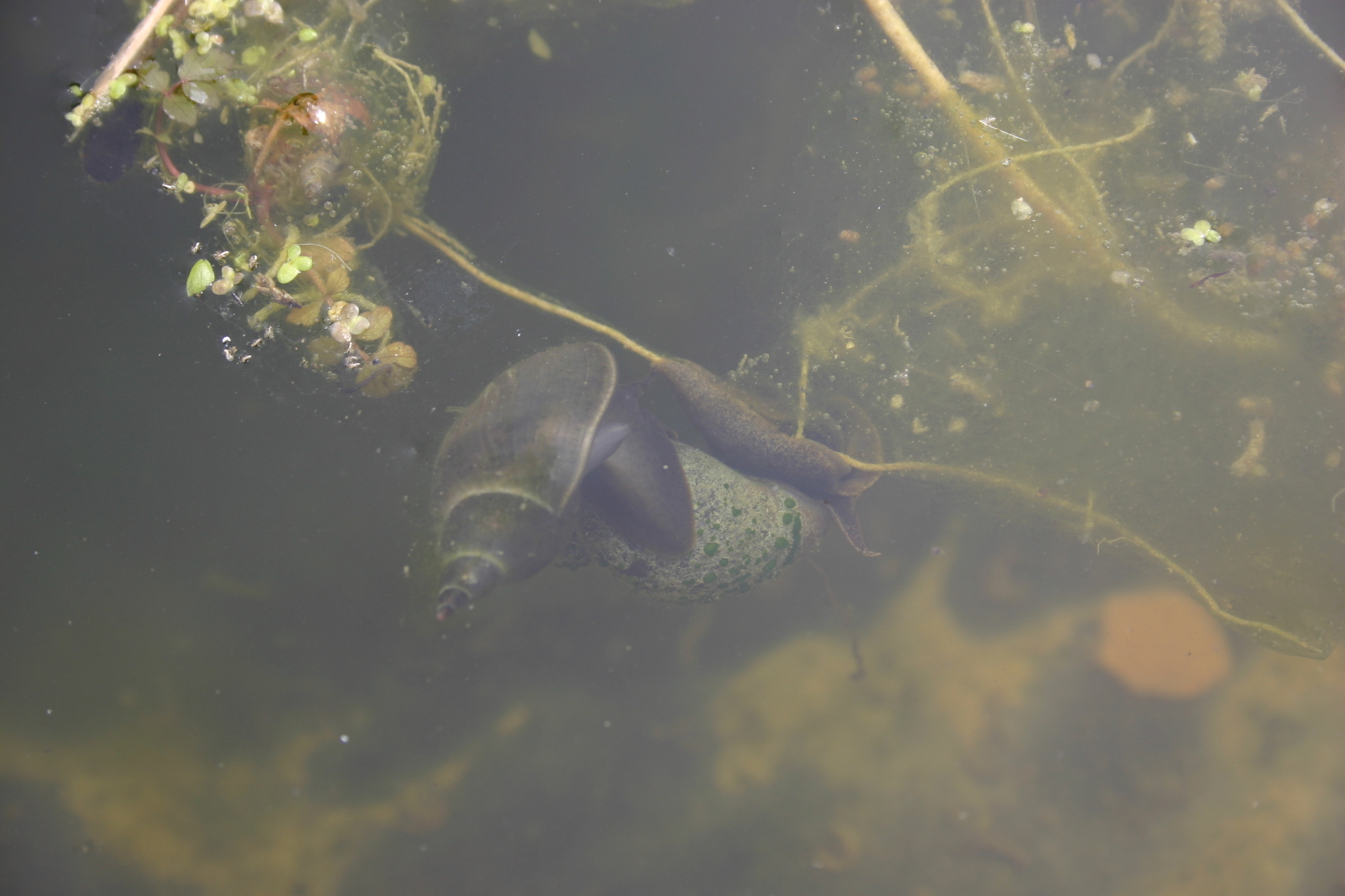 Image of Great Pond Snail