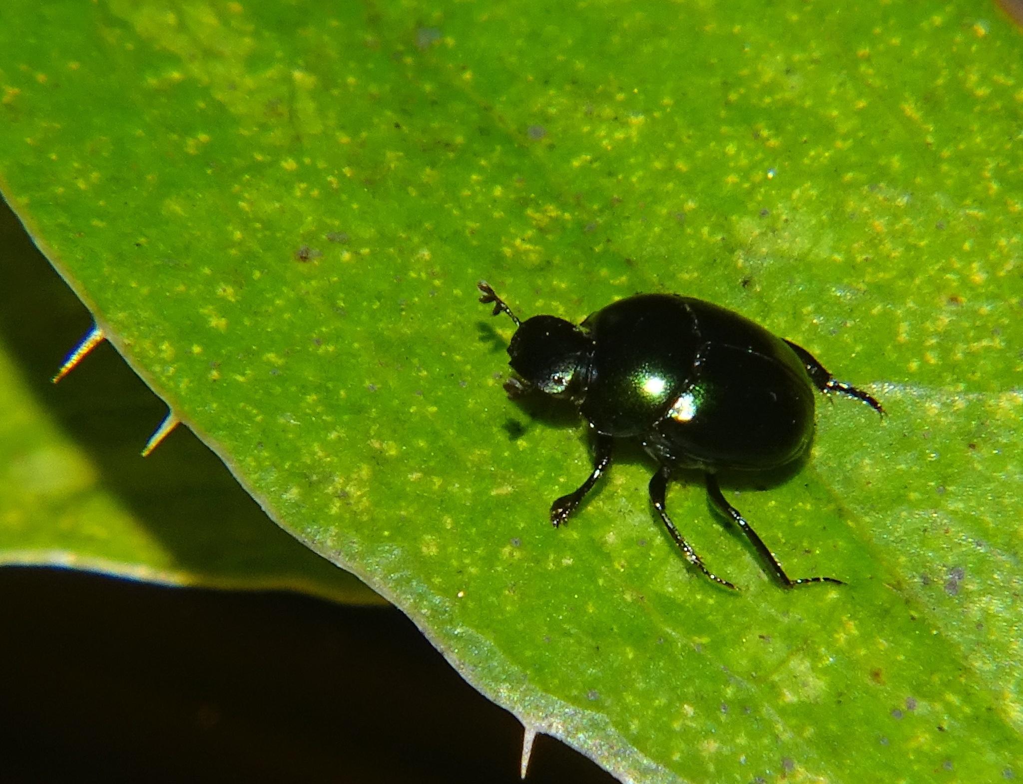 Image of <i>Canthon</i> (<i>Glaphyrocanthon</i>) <i>viridis</i> (Palisot de Beauvois 1805)