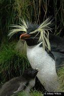 Image of Northern Rockhopper Penguin