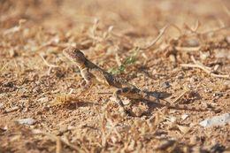 Image of <i>Trapelus pallidus</i>