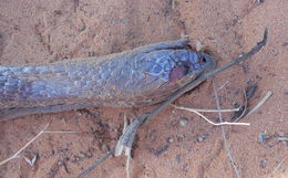 Image of <i>Naja senegalensis</i> Trape, Chirio & Wüster 2009