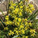 Image of <i>Saxifraga aizoides</i>
