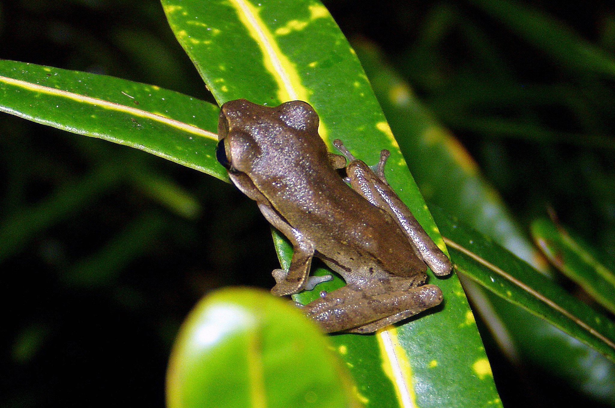 Image of Common Tree Frog