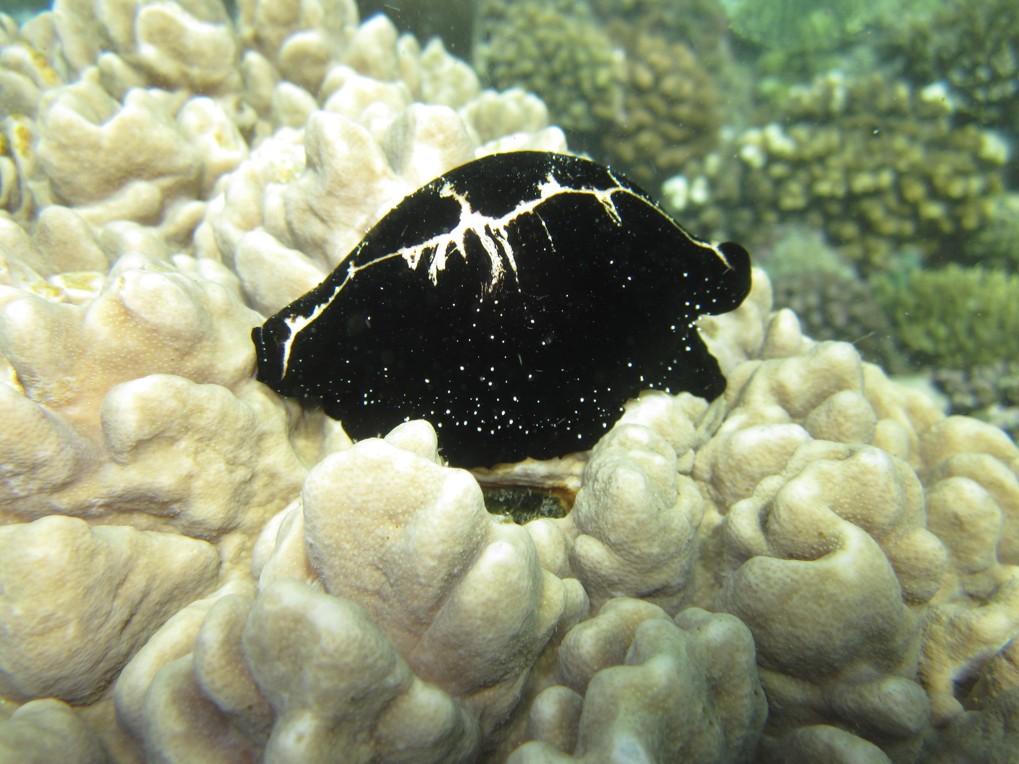 Image of common egg cowrie