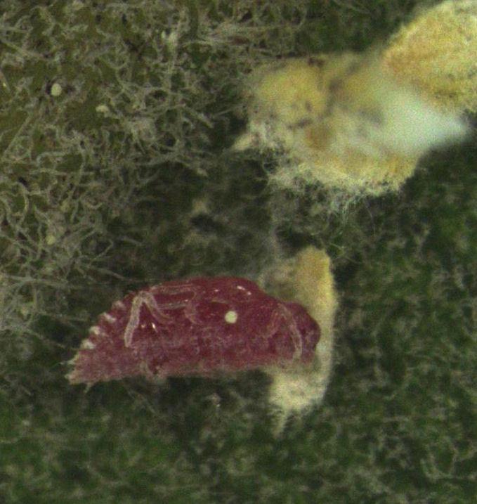 Image of <i>Eriococcus pohutukawa</i> Hoy 1958