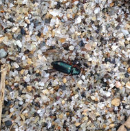 Image of Redlegged ham beetle