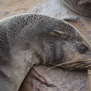 Image of eared seals